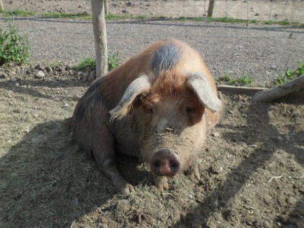 Quarr Abbey Pig